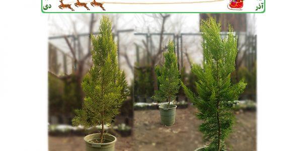 خرید درخت کاج طبیعی کریسمس لاوسون