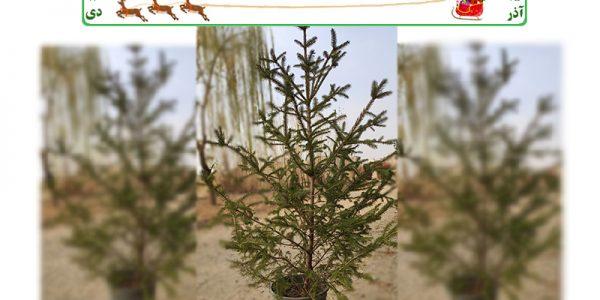 خرید درخت کاج طبیعی نوئل